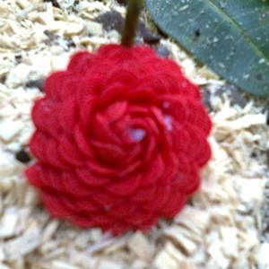 belis red